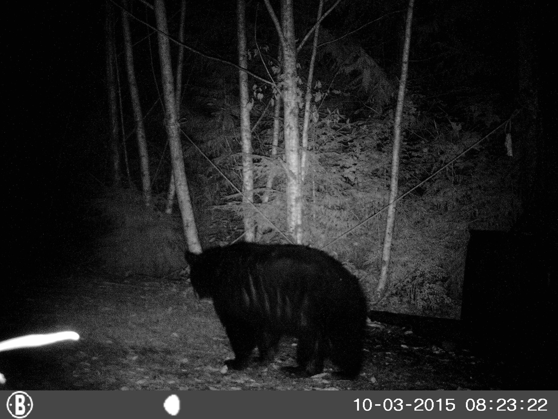 trophy black bear hunting washington october 2015