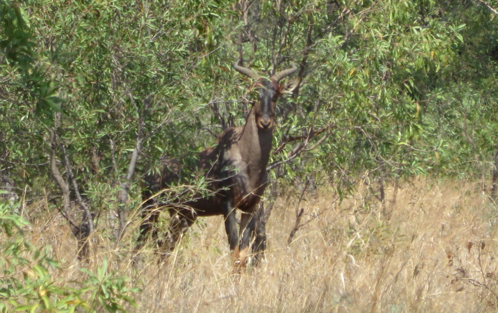 african plains game hunting safari tsessebe