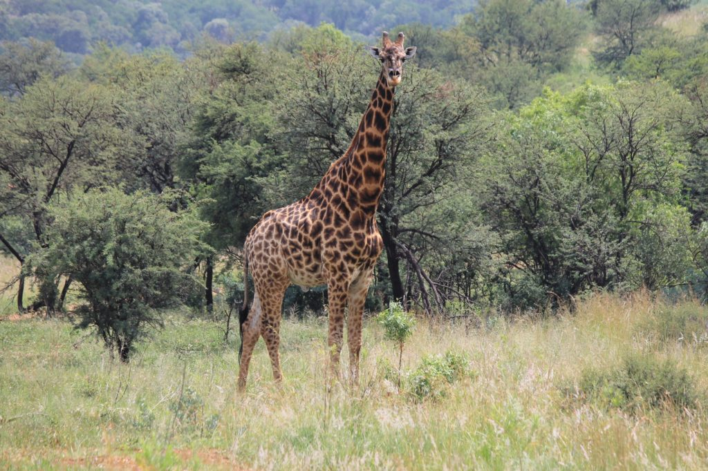 african plains game hunting giraffe