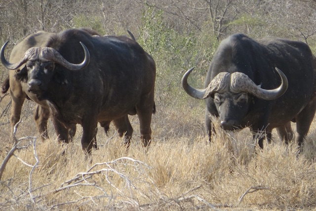 big 5 hunting in Africa cape buffalo