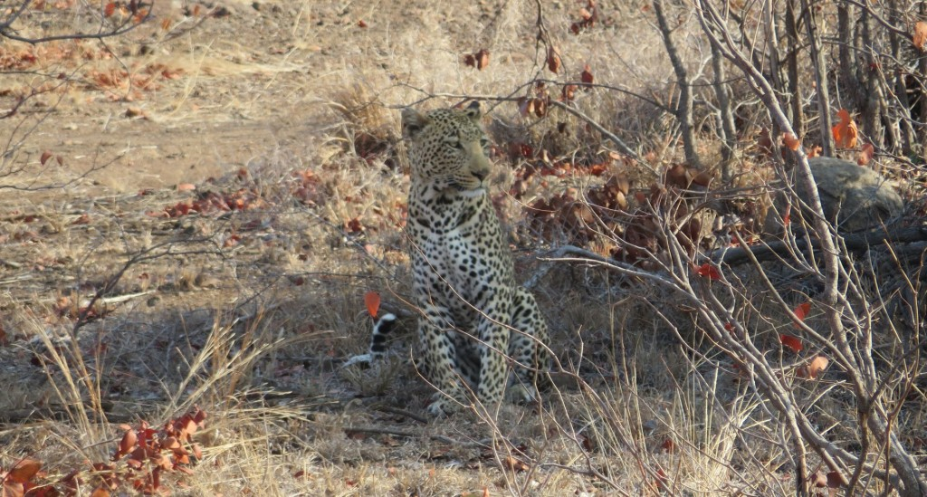big 5 hunting in africa leopard