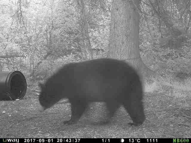 Trophy Alberta Bear Hunts trail camera 2