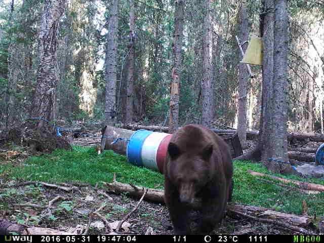 Trophy Alberta Bear Hunts trail camera 3