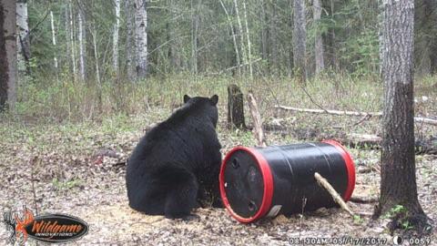 Trophy Alberta Bear Hunts trail camera