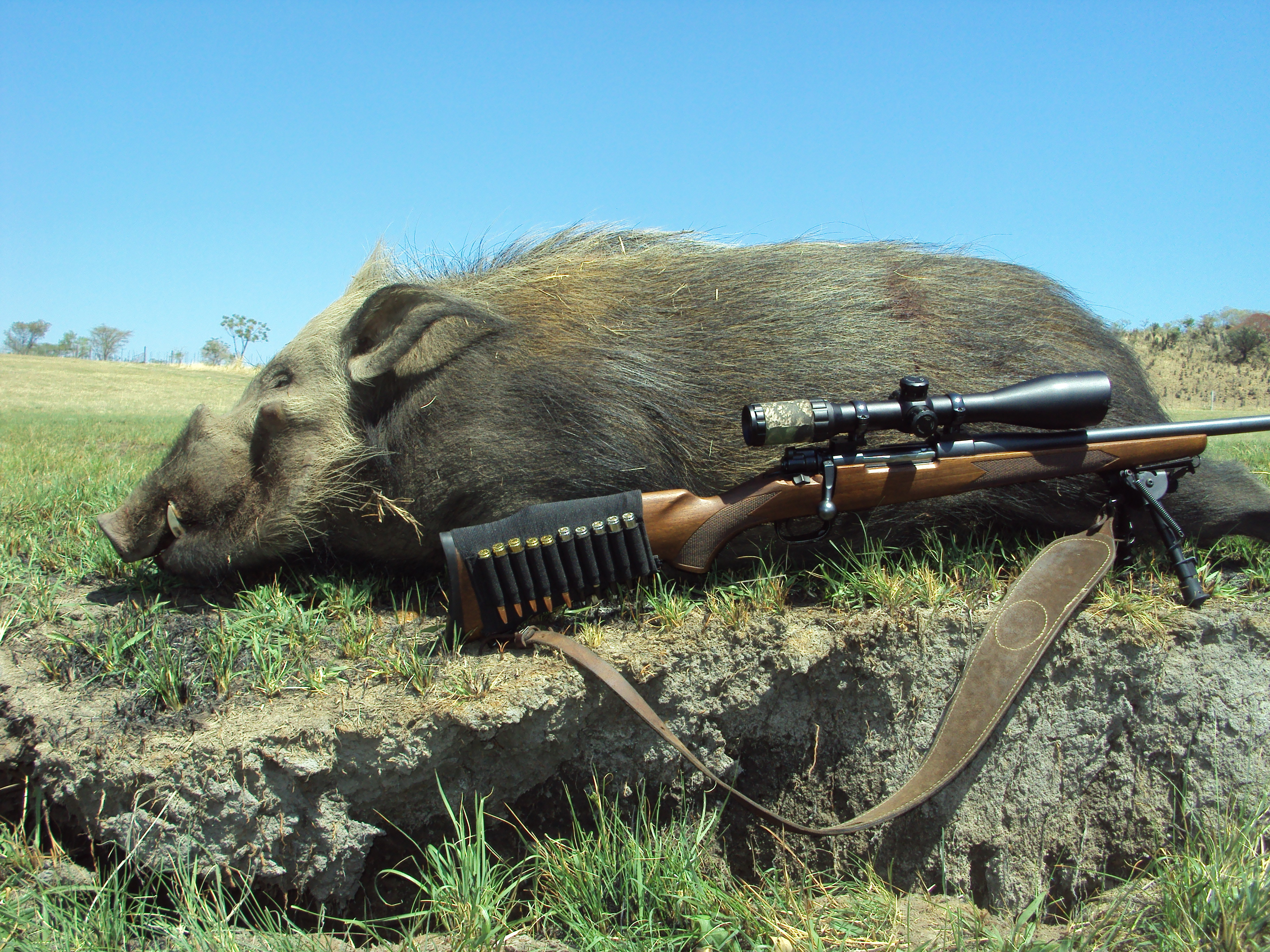 bushpig hunting south africa 3