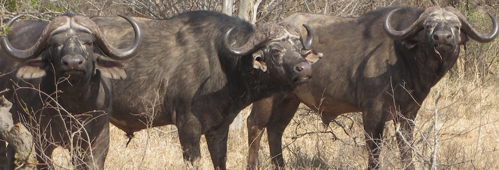 Cape Buffalo Hunting In South Africa Big Game Hunting Adventures