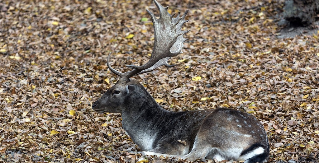 Fallow Deer Hunting In New Zealand featured