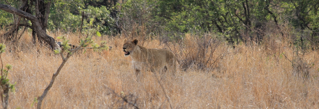 picture of lion Benefits of Hunting Why Hunting Is Good For Wildlife