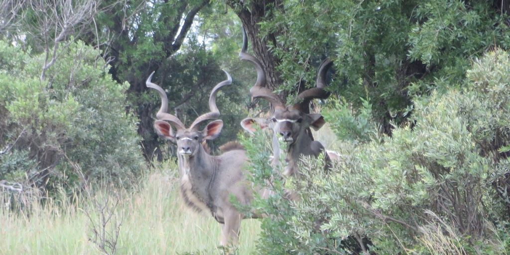 picture of south african hunting safari kudu